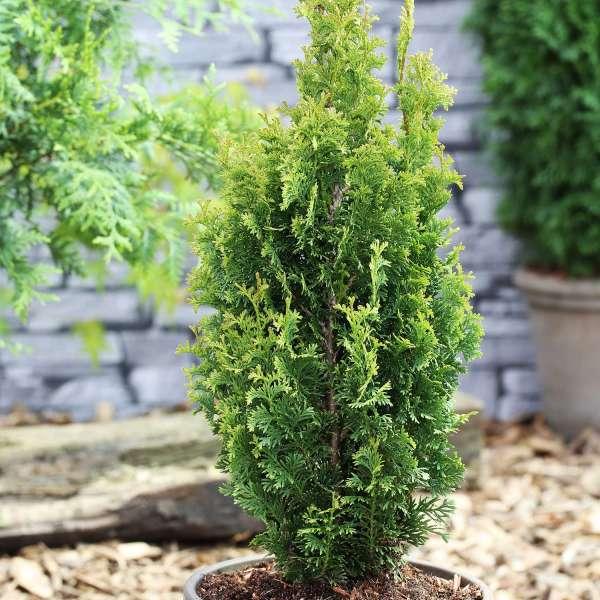 Lebensbaum Degroot Spire 01