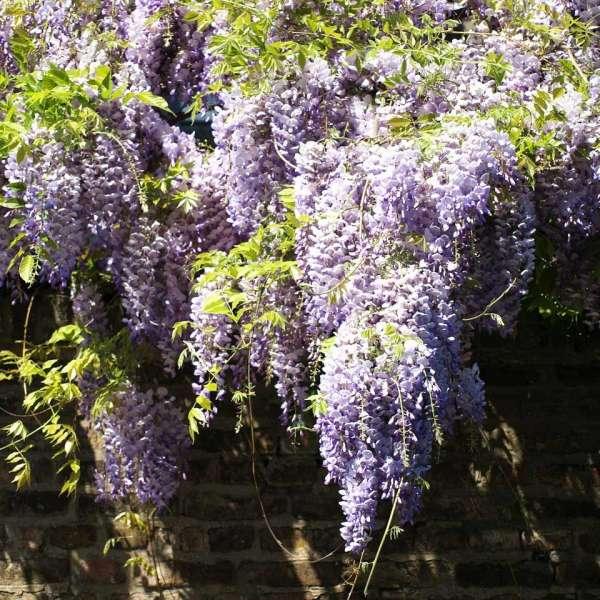 Chinesischer Blauregen Wisteria sinensis