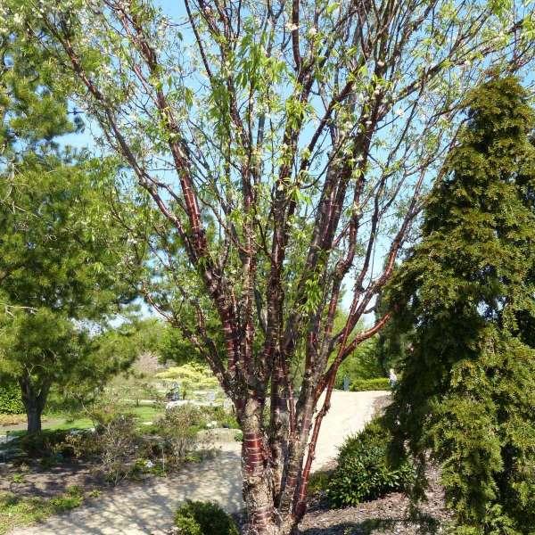 Zimt-Ahorn Acer griseum 01