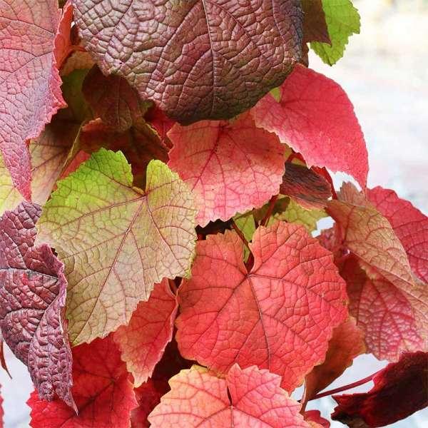 Weinrebe Amurensis