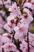 Gefüllte Blutpflaume 'Pleniflora'