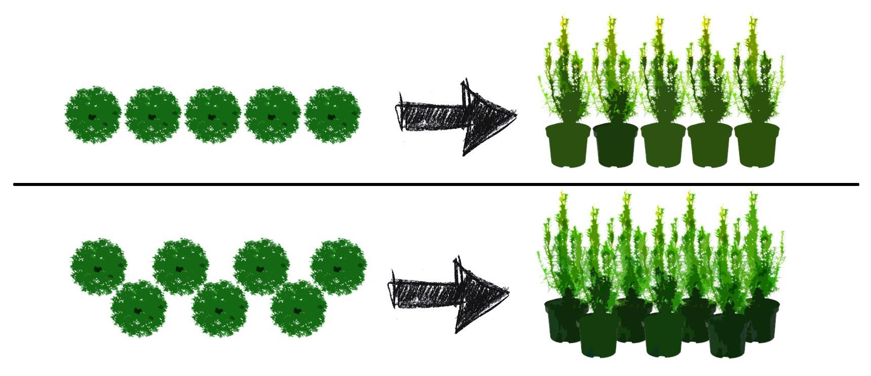 Eibenhecke pflanzen Pflanzmuster