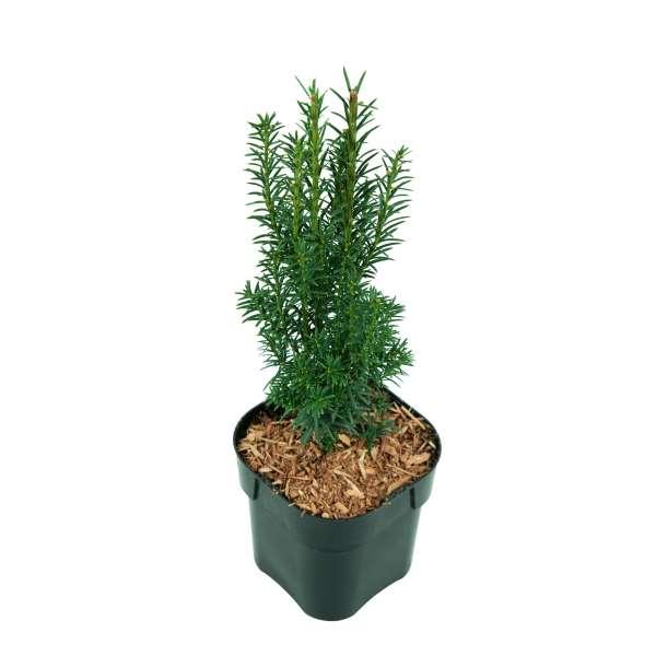 Taxus-baccata-Overeynderi-C2-30-40