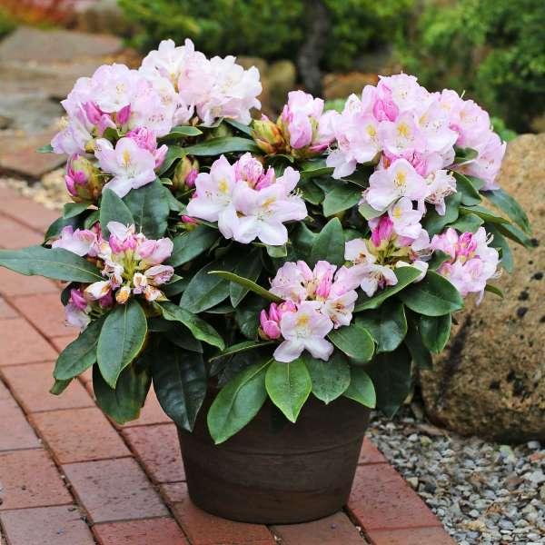 Rhododendron INKARHO Gomer Waterer Topf