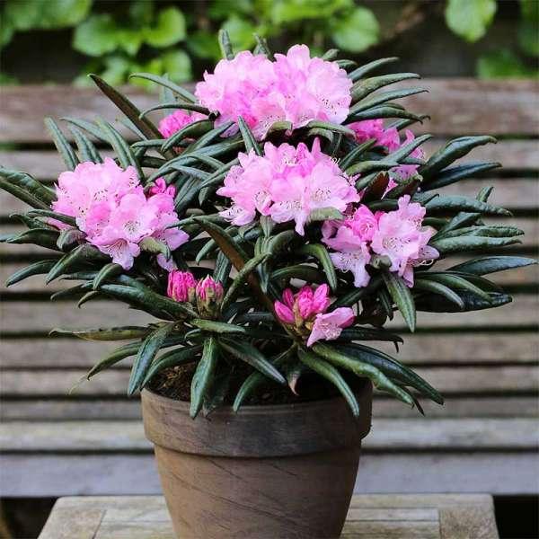Rhododendron Jens Jörgen Sörensen