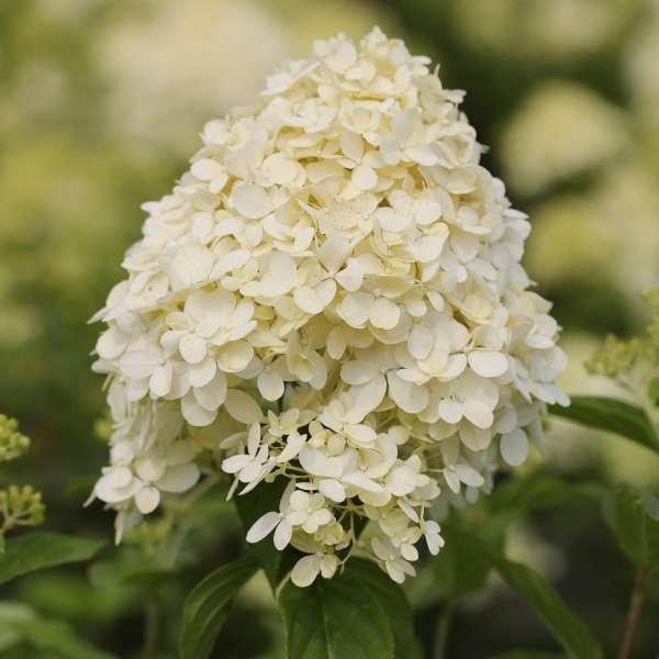 Rispenhortensie-Hydrangea-paniculata-Limelight-01