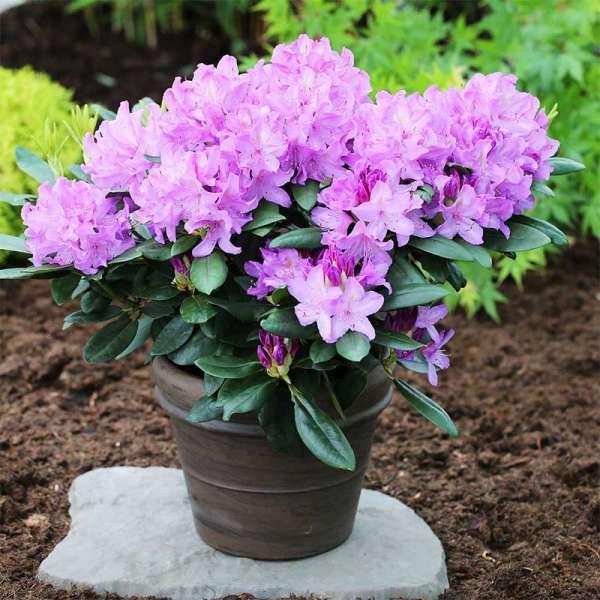 Rhododendron Catawbiense Boursault