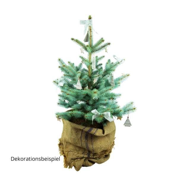 Kegel-Blaufichte Blue Diamond Weihnachtsbaum