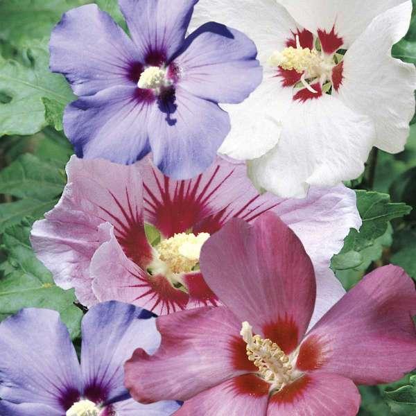 Dreifarbiger Hibiskus Party Mix Blüten
