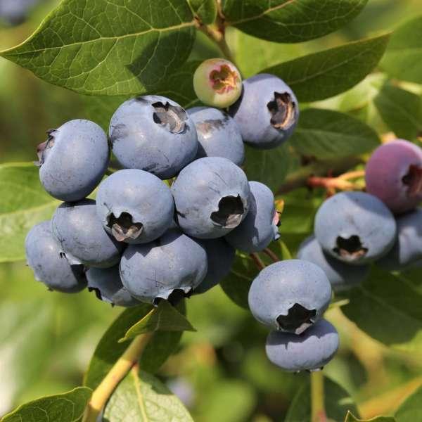 Heidelbeere-Vaccinium-corymbosum-Hortblue-Poppins-01