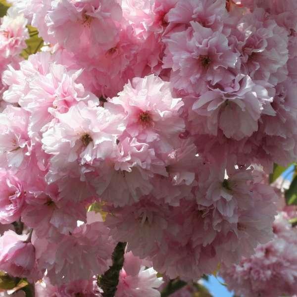 Japanische-Nelkenkirsche-Prunus-serrulata-Kanzan-01