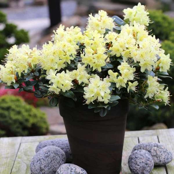 Rhododendron-hanceanum-Princess-Anne-kaufen