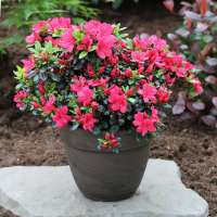 Rhododendron obtusum Maruschka Topf