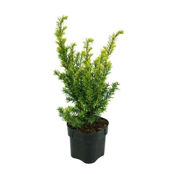 Taxus-baccata-Semperaurea-C2-20-25
