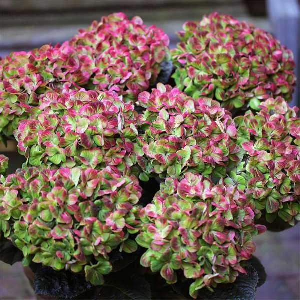 Ballhortensie Magical Coral
