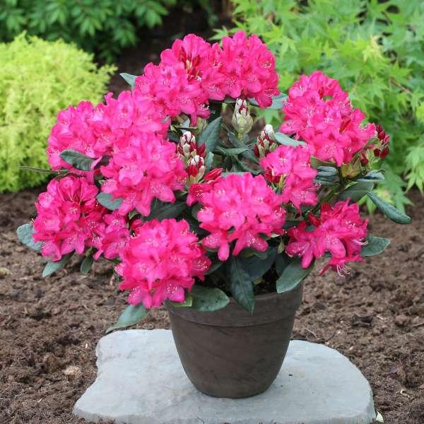 Rhododendron Hybride Nova Zembla-04