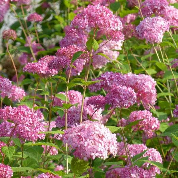 Hydrangea-arborescens-Pink-Annabelle-02