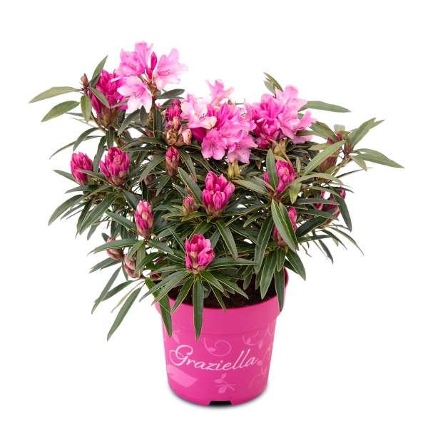 Rhododendron Graziella C5