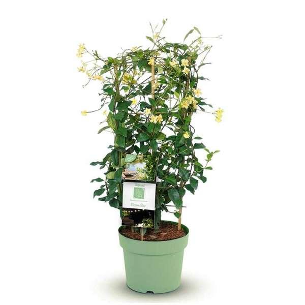 Tropical Fl'Aroma Sternjasmin Blossom Star