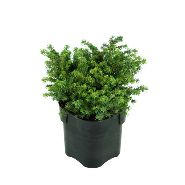 Kissenfichte Picea abies Little Gem C2-15-20