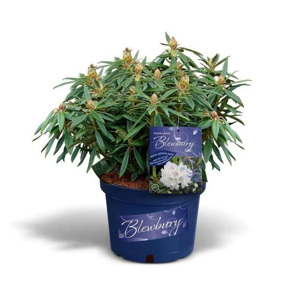 Rhododendron Blewbury