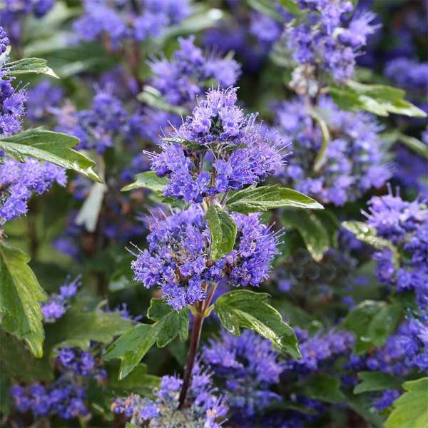 Bartblume Grand Bleu