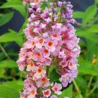 Sommerflieder Flower Power