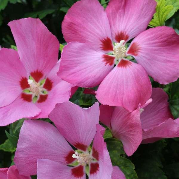 Hibiskus Woodbridge Blüten 01