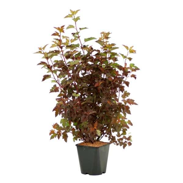Fasanenspiere-Physocarpus-opulifolius-Diable-d-Or-C5