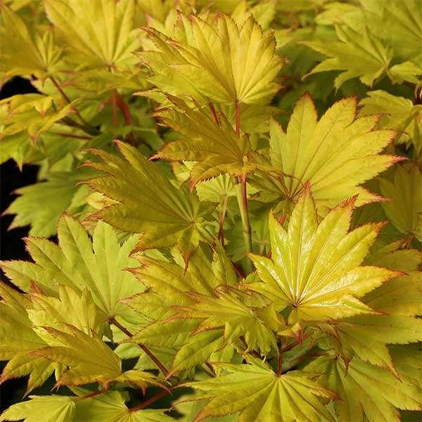 Japanischer Goldahorn Aureum