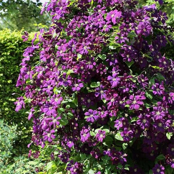 Waldrebe Etoile Violette