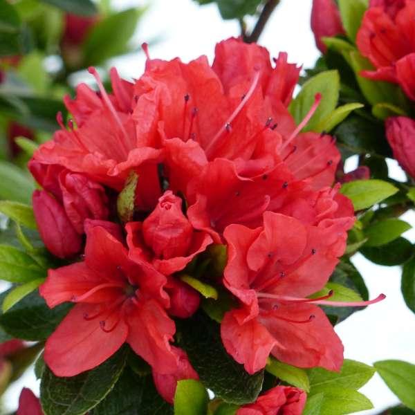 Rhododendron-obtusum-Geisha-orange-01
