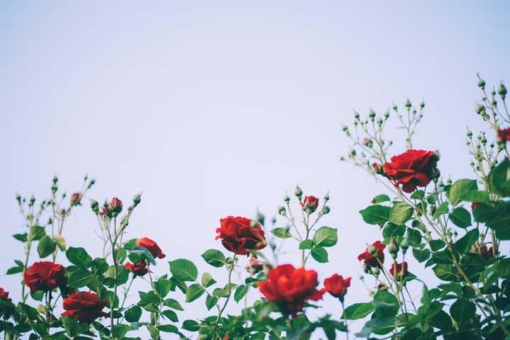 Container-Rosen-richtig-pflanzen