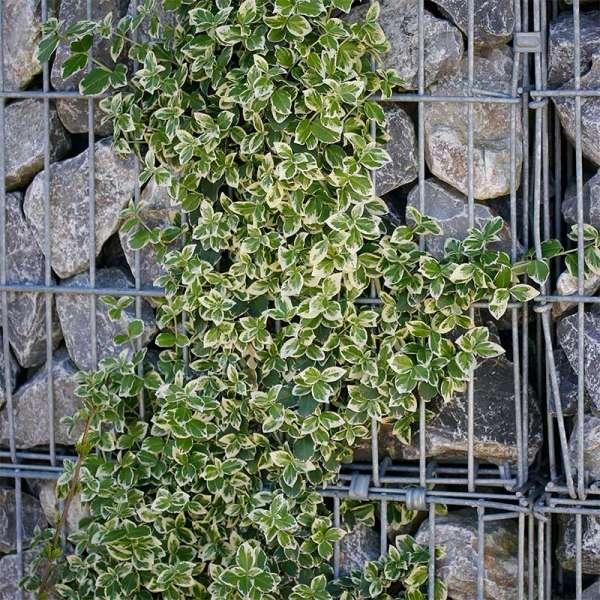 Kriechspindel Emerald Gaiety