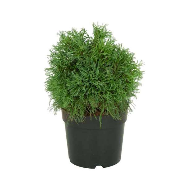 Seidenkiefer Green Curls