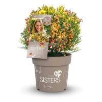 Cytisus-Three-Sisters-Packshot
