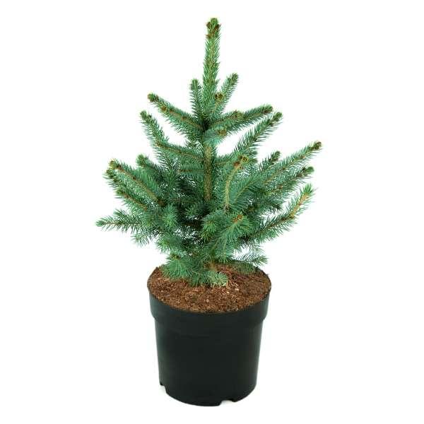 Picea-pungens-Super-Blue-C4_6-30-40