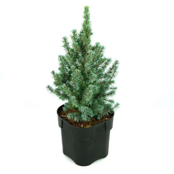 Picea-glauca-Sander's-Blue-C2-15-20