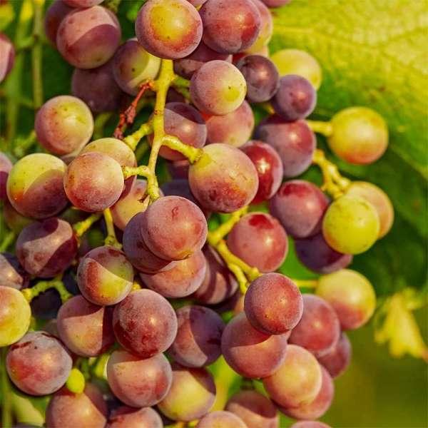 Rote Weintraube Vanessa