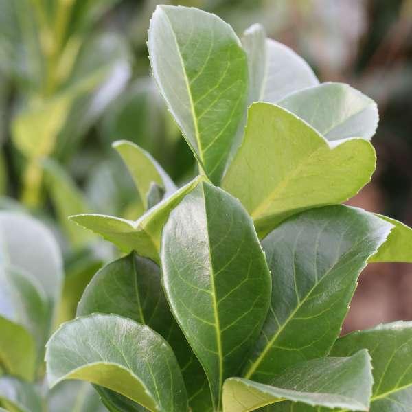 Kirschlorbeer-Prunus-laurocerasus-Etna-01
