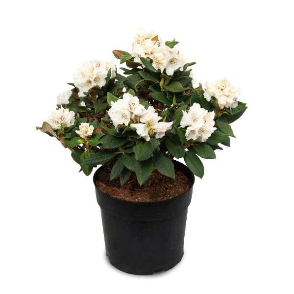 Rhododendron-taliense-Honigduft-C6_4-01