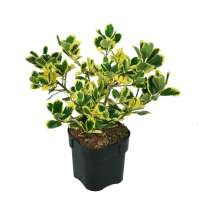 Stechpalme-Ilex-altaclerensis-Golden-King-C2-30-40