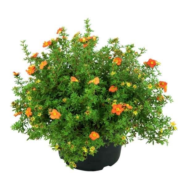 Fingerstrauch-Potentilla-fruticosa-Marian-Red-Robin-C5-30-40