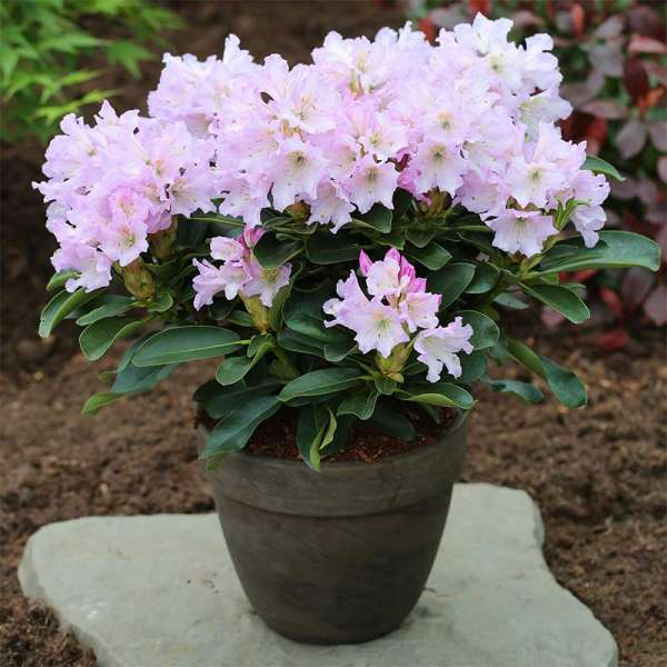 Rhododendron INKARHO Lila Dufthecke
