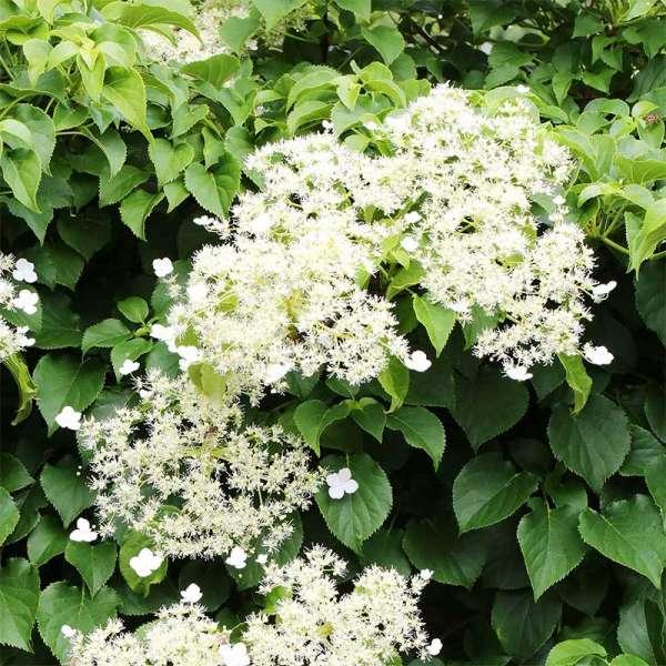 Kletterhortensie Hydrangea petiolaris