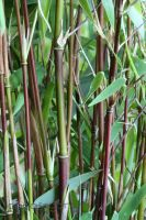Roter Bambus 'Jiuzhaigou 1'