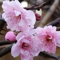Gefüllte Blutpflaume Pleniflora