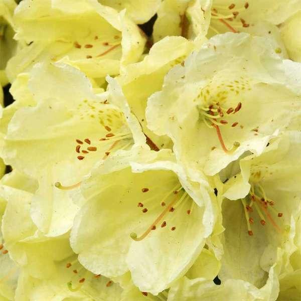 Zwerg-Rhododendron Wren