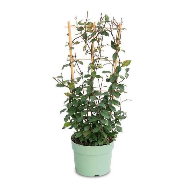 Tropical Fl'Aroma Sternjasmin Exotic Jasmine