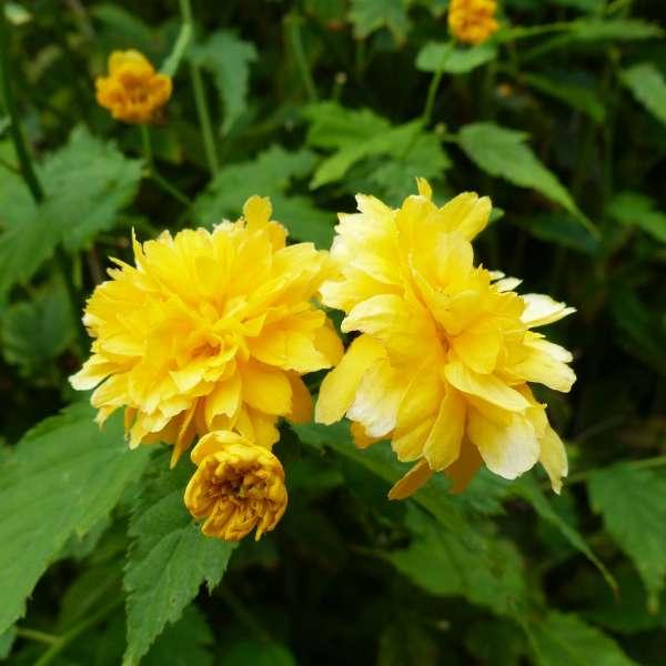 Ranunkelstrauch-Kerria-japonica-Pleniflora-01